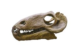 Dinosaur skull isolated on white royalty free stock photos