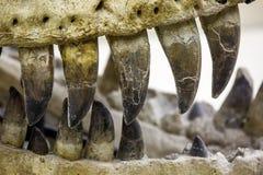 Dinosaur szczęka z zębu zamknięty up Obrazy Royalty Free