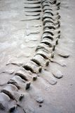 Dinosaur Tail. Boney tail of a dinosaur fossil stock image