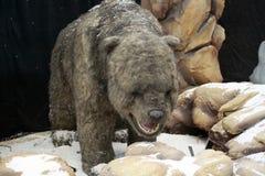Ursus spelaeus cave bear Royalty Free Stock Images