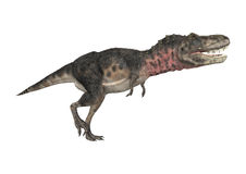 Dinosaur Tarbosaurus Royalty Free Stock Photography