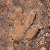 Dinosaur Track. A track of a dinosaur in rock in the La Sal Mountains of Utah.  Several tracks are visible in the area Royalty Free Stock Image