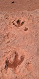 Dinosaur Tracks. North American, ca. 90 million years old Dinosaur tracks in sandstone Royalty Free Stock Photos