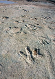 Dinosaur Tracks Royalty Free Stock Photo