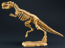 Dinosaur Tyrannosaurus T Rex skeleton on black background Royalty Free Stock Photo