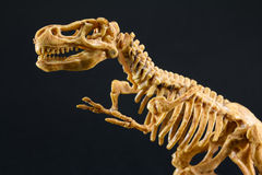 Dinosaur Tyrannosaurus T Rex skeleton on black background Stock Images