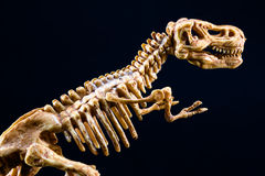 Dinosaur Tyrannosaurus T Rex skeleton on black background. Dinosaur Tyrannosaurus T Rex statuette skeleton on black background, t-rex toy Royalty Free Stock Photography