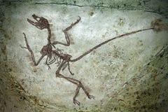 dinosaura fissil Obraz Royalty Free