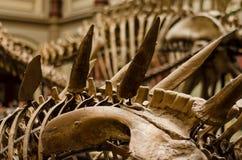 Dinosaura kościec Zdjęcia Royalty Free