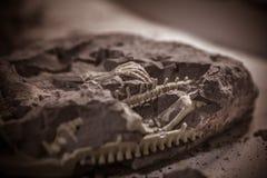 Dinosauriefossil, Jurassic era, Paleontological utgrävningar arkivbild