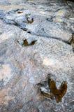 Dinosauriefotspår Fotografering för Bildbyråer