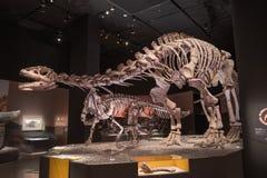 Dinosaurier-Fossilien Stockfoto