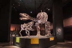 Dinosaurier-Fossilien Stockbilder