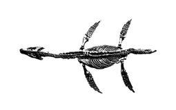 Dinosaurierfossil auf weißem Hintergrund Stockfoto