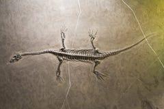 Dinosaurierfossilien Stockbild
