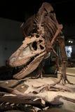 Dinosaurierskelett stockfotografie