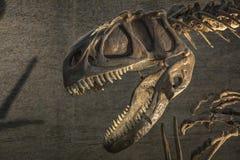 Dinosaurierskelett im Museum stockfotos