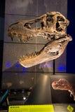 Dinosaurieskalle i nyazeeländskt museum Royaltyfri Fotografi