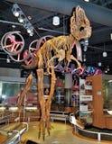 Dinosaurieutställning i norr Carolina Museum av naturvetenskaper arkivbild