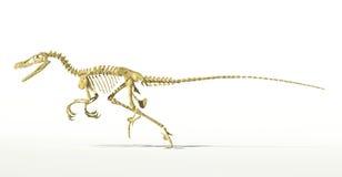 Dinosaurio del Velociraptor, esqueleto lleno científico correcto, vista lateral. Imágenes de archivo libres de regalías