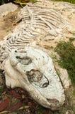 Dinosauro dell'osso Fotografie Stock