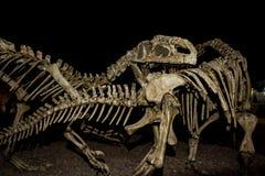 Dinosauro ricostruito Immagini Stock