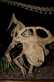 Dinosauro ricostruito Immagine Stock