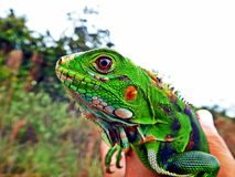 The dinosaurs still alive, they became green iguanas stock photography