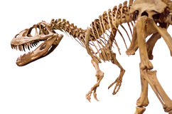 Dinosaurskelett över vit isolerad bakgrund Royaltyfria Bilder