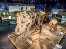 Dinosaurus fossiel tentoongesteld voorwerp stock afbeelding
