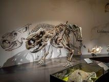 Dinosaurus fossiel tentoongesteld voorwerp stock fotografie