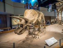 Dinosaurus fossiel tentoongesteld voorwerp stock foto