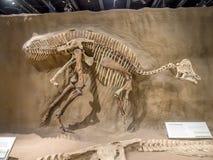 Dinosaurus fossiel tentoongesteld voorwerp royalty-vrije stock fotografie