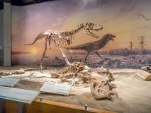 Dinosaurus fossiel tentoongesteld voorwerp royalty-vrije stock foto's