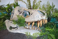 Dinosaurusschedel Royalty-vrije Stock Foto