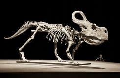 Dinosaurusskelet - Protoceratops Royalty-vrije Stock Afbeelding