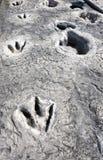 Dinosaurussporen in Texas royalty-vrije stock afbeelding
