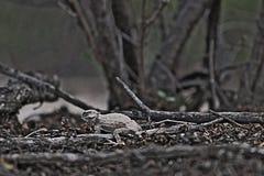 Dinossauro pequeno Fotografia de Stock Royalty Free