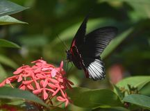 Dinstinctive Black and Red Scarlet Swallowtail Butterfly royalty free stock image