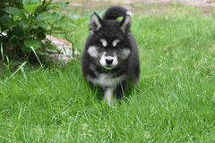 Dinstinctive Black and White Markings on an ALusky Pup Royalty Free Stock Image