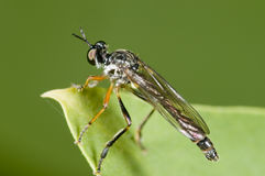 Dioctria linearis makro- Zdjęcia Royalty Free