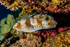 Diodon fish in the Red Sea Colorful and beautiful. Eilat Israel ae royalty free stock photos