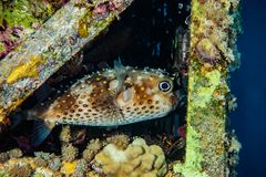 Diodon fish in the Red Sea Colorful and beautiful. Eilat Israel ae royalty free stock photo