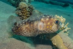 Diodon fish in the Red Sea. Colorful and beautiful, Eilat Israel stock photography