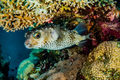Diodon fish in the Red Sea Colorful and beautiful. Eilat Israel ae royalty free stock image