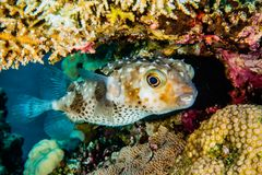 Diodon fish in the Red Sea Colorful and beautiful. Eilat Israel ae stock photos