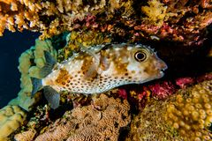 Diodon fish in the Red Sea Colorful and beautiful. Eilat Israel ae stock image