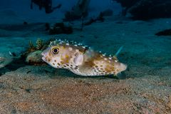 Diodon fish in the Red Sea Colorful and beautiful. Eilat Israel ae royalty free stock images