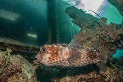 Diodon fish in the Red Sea. Colorful and beautiful, Eilat Israel royalty free stock images