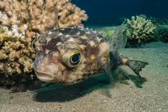 Diodon fish in the Red Sea. Colorful and beautiful, Eilat Israel royalty free stock photo